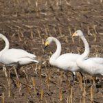 羽を休める白鳥達が今年は多い様です