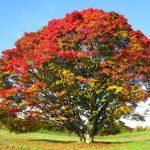 「カエデの木のうたプロジェクト」をやってみたい