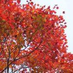 うちの紅葉、そして落ち葉掃除