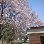 やっと、桜、満開です