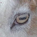 ロバの瞳孔も横長だったんだ