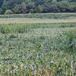 とうきび畑と思っていたら、人は食べないデントコーン畑でした